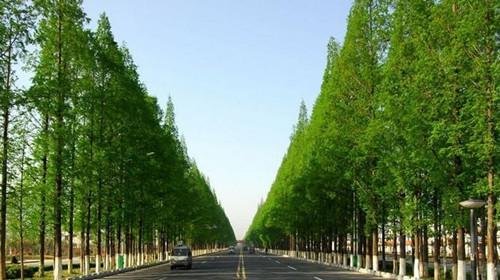 园林杉树苗木品种图片大全